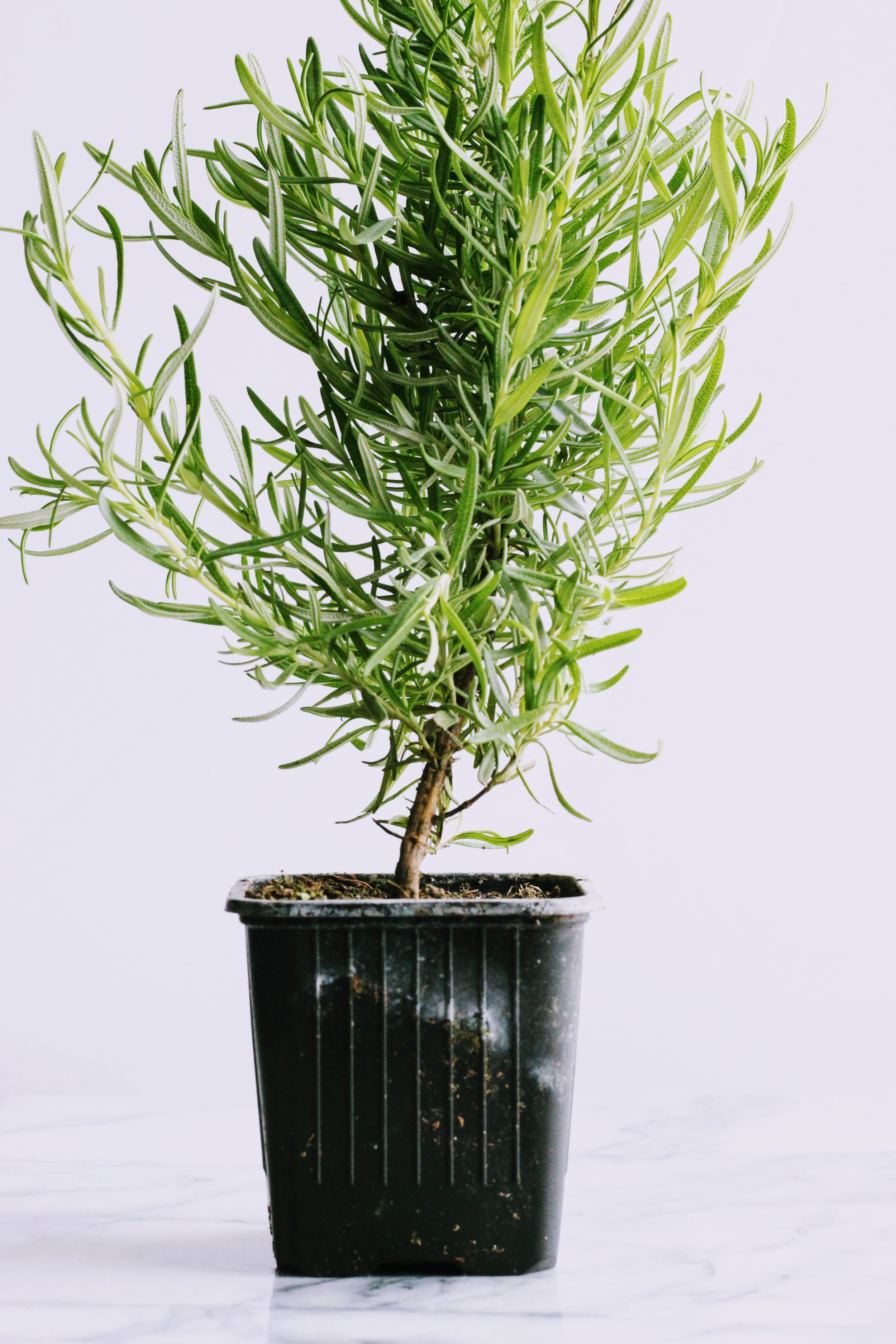 How To Grow And Care For An Indoor Rosemary Plant Back Road Bloom