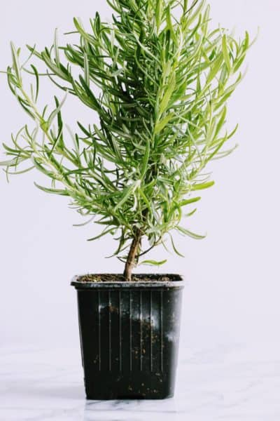 how to grow a rosemary plant indoors, rosemary plant care and tips