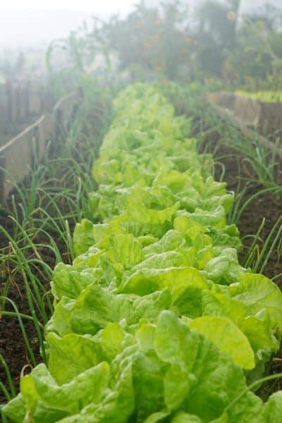 beginner vegetable gardening tips, best vegetables for the beginner gardener, best vegetables for the first time gardener